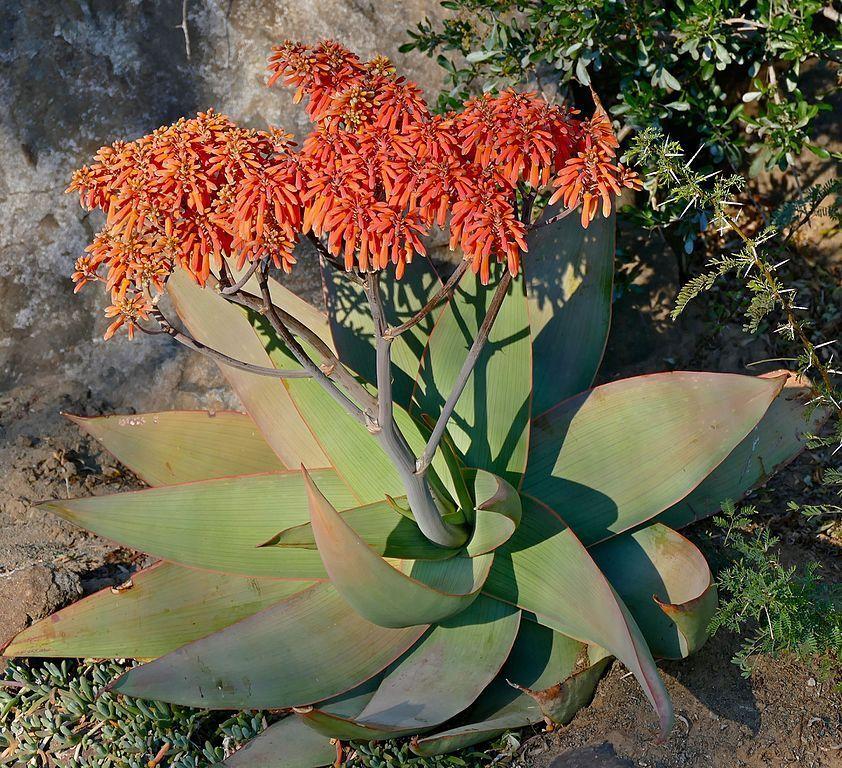 Aloe striata - Aloe coral - Aloe de estrías
