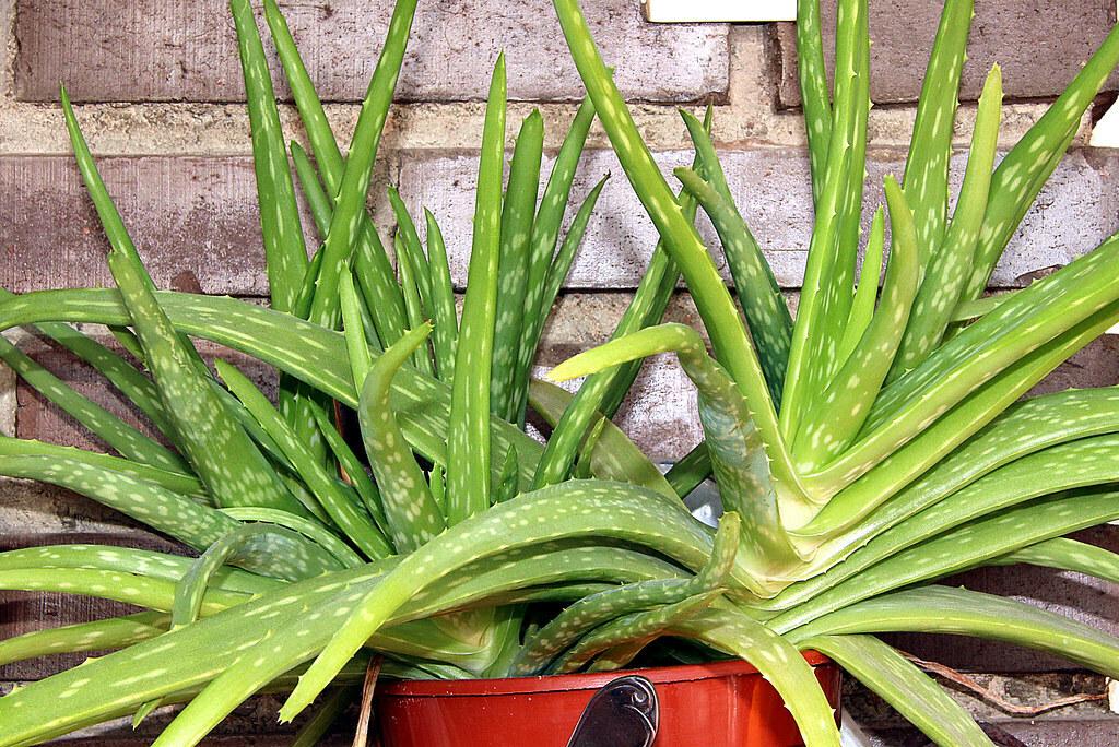Aloe chinensis
