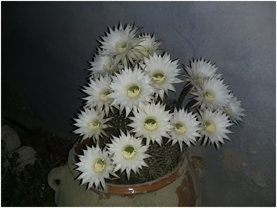 Echinopsis oxygena