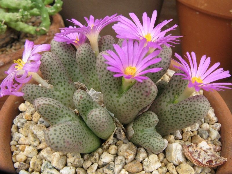 Conophytum karamoepense