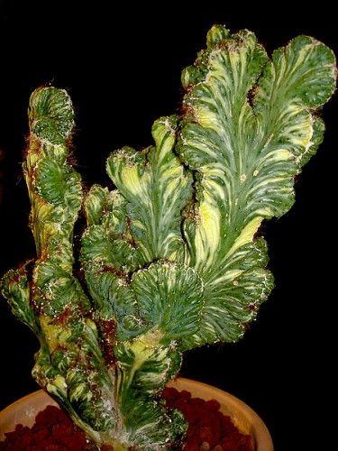 Cereus peruvianus monstruosus - cristata