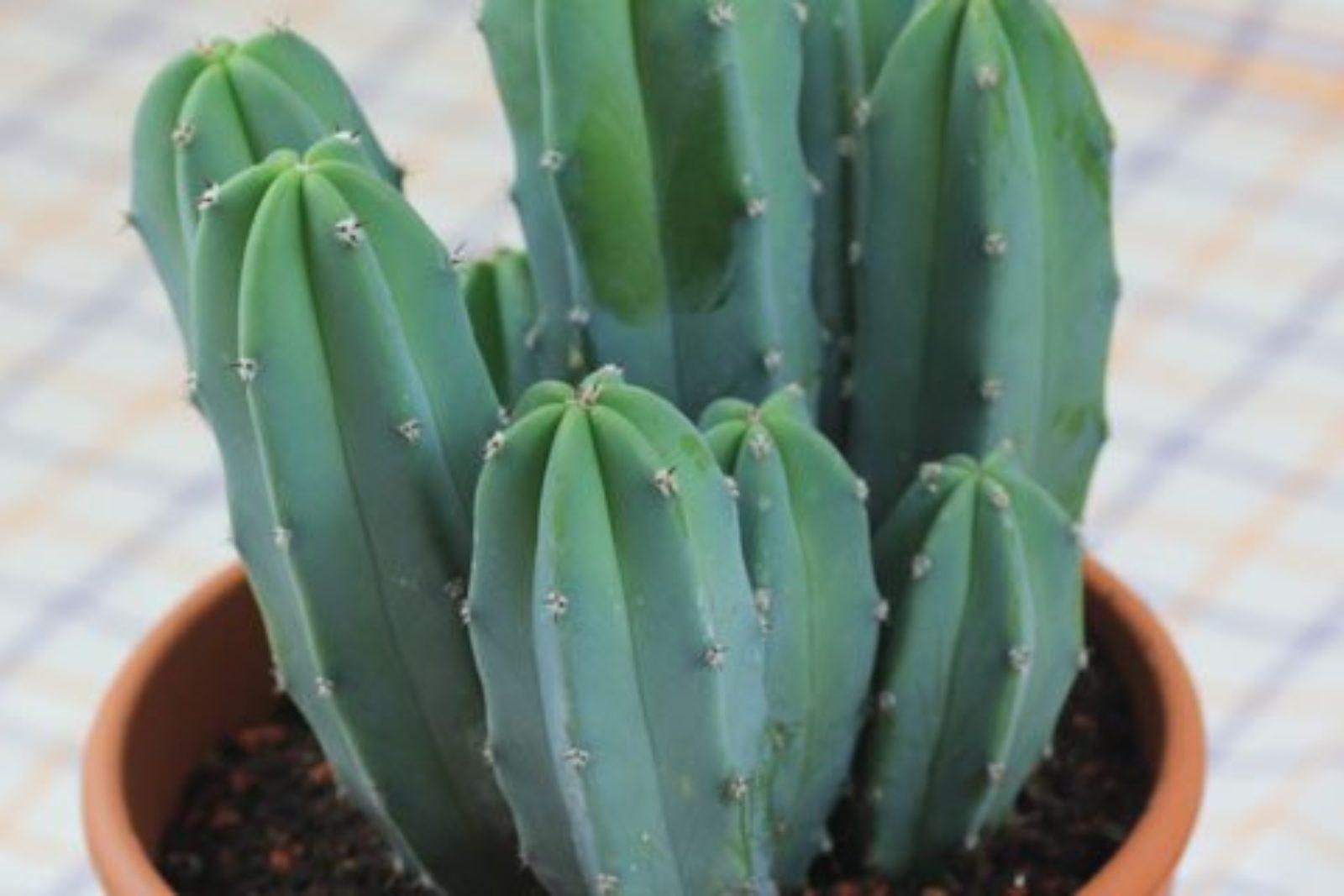 Género Myrtillocactus