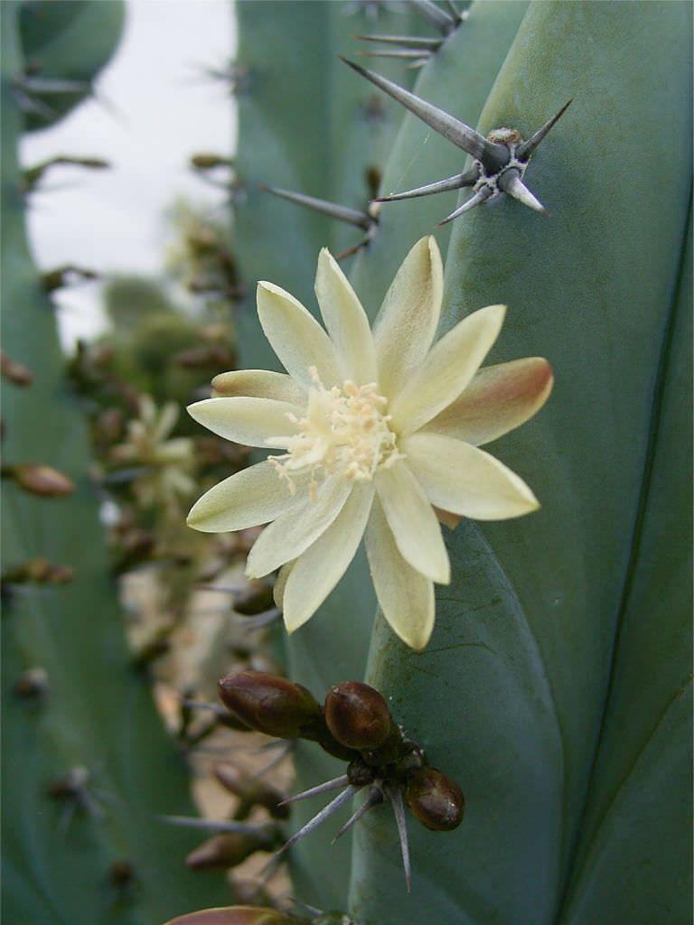 Myrtillocactus geometrizans. Garambullo