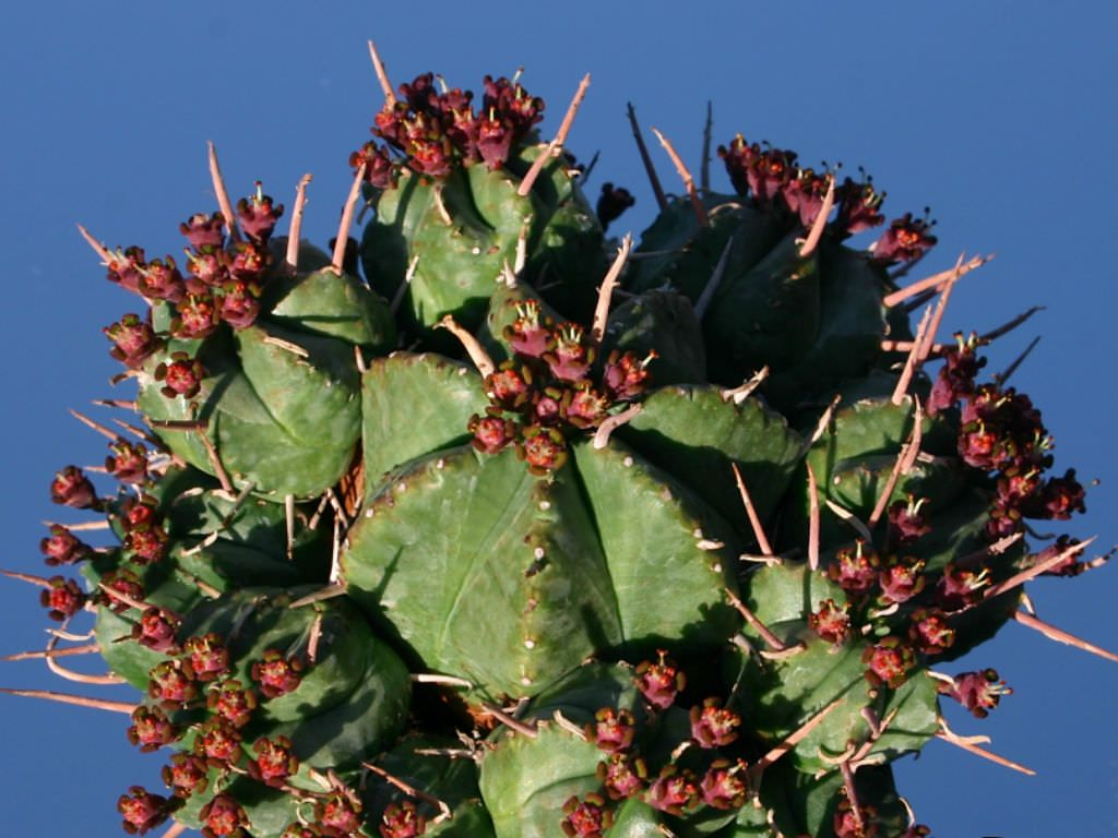 Euphorbia pulvinata