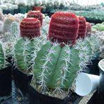 Género Melocactus