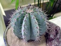 Melocactus pachyacanthus