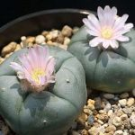Cactus Peyote - Lophophora Williamsii