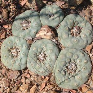 Lophophora diffusa.