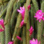 Cactus Disocactus flagelliformis o Cola de Rata