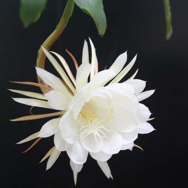 Epiphyllum oxypelatum o Dama de noche. Cactus orquídea.