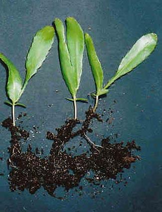 Epiphyllum oxypelatum o Dama de noche. Cactus orquídea. Esquejes