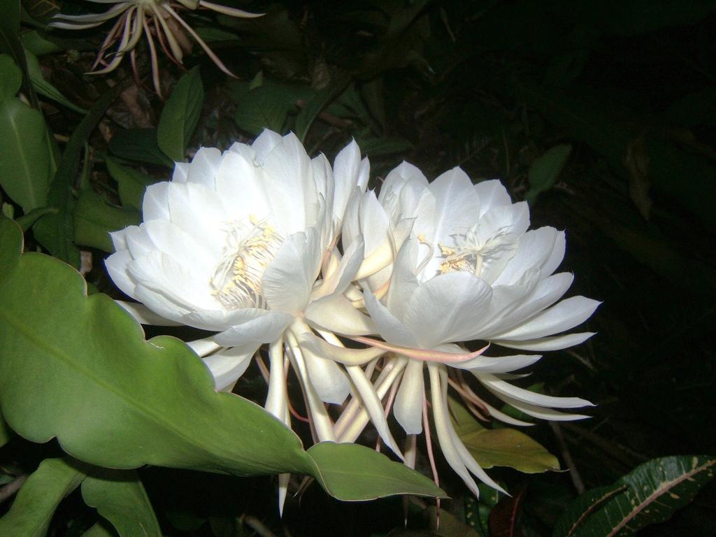Epiphyllum oxypelatum o Dama de noche. Cactus orquídea. Flor Kadupul