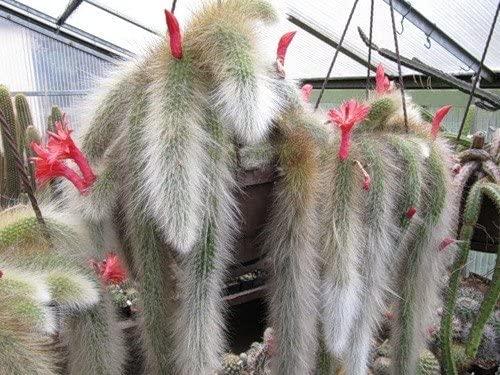 Cleistocactus colademononis