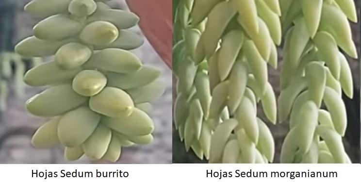 Sedum burrito